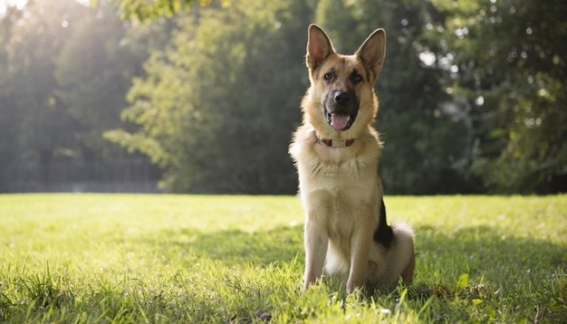 German Shepherd as the Most Expensive Dog Breeds