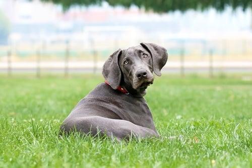 Weimeraner as the Most Stubborn Dog Breeds
