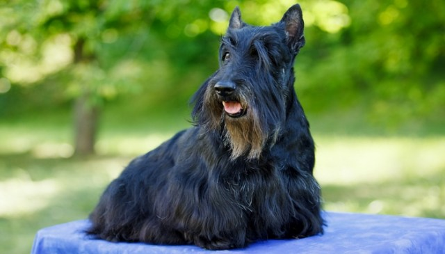 Scottish Terrier as the Most Stubborn Dog Breeds
