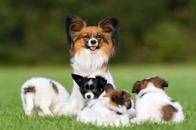 Papillon are the most friendly dog breeds