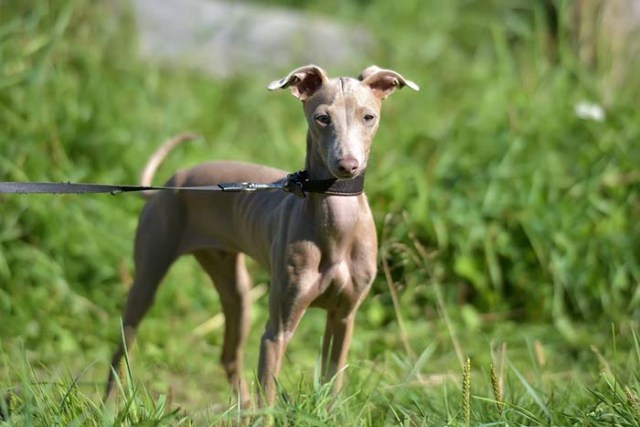 Peruvian Inca Orchid Most Expensive Dog Breeds