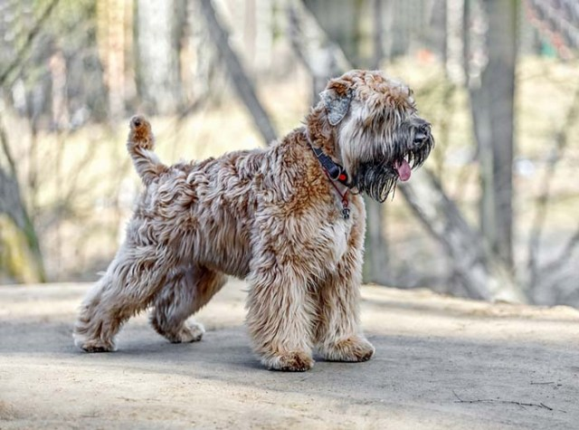 Soft Coated Wheaten Terrier are the most friendly dog breeds
