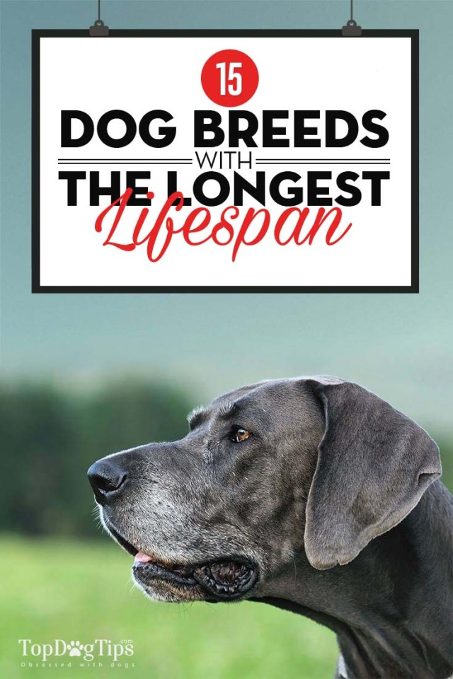 Top Dog Breeds That Have the Longest Lifespan