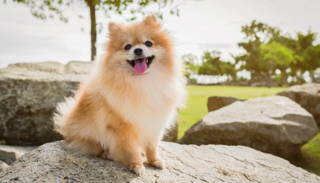 Pomeranian as the best toy dog breeds
