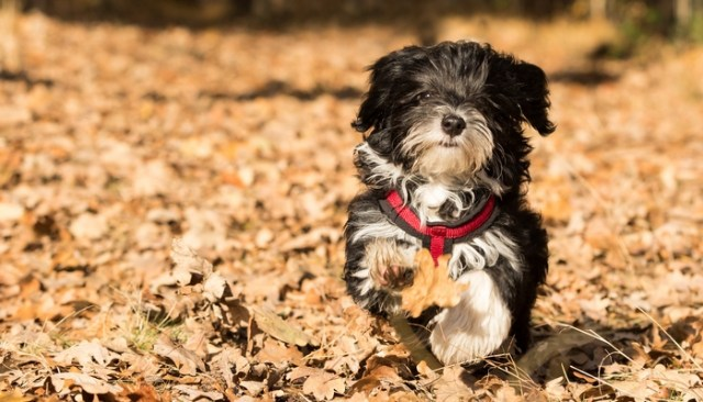 Havanese as the best toy dog breeds