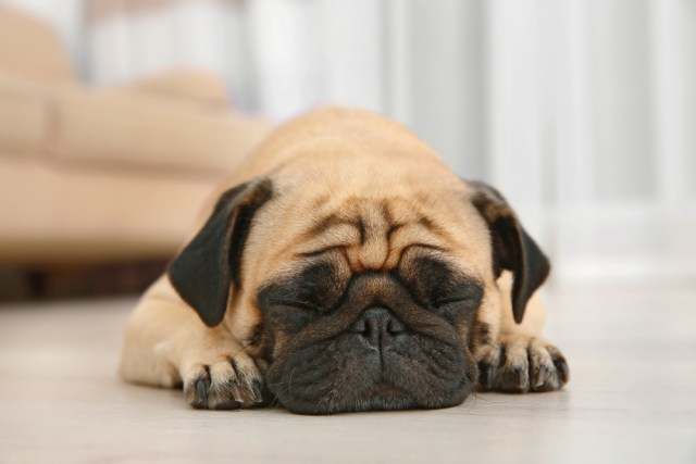 Pug as the best toy dog breeds