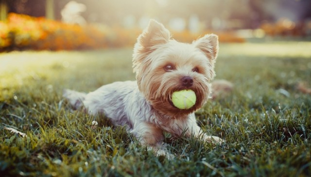 Yorkshire Terrier as the best toy dog breeds