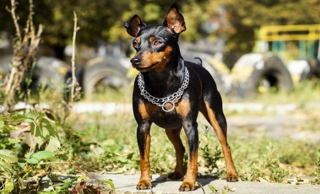 Miniature Pincher as the best toy dog breeds