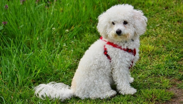 Bolognese as the best toy dog breeds