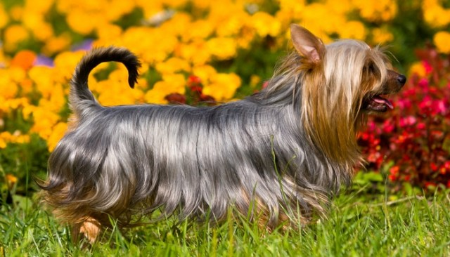 Silky Terrier as the best toy dog breeds