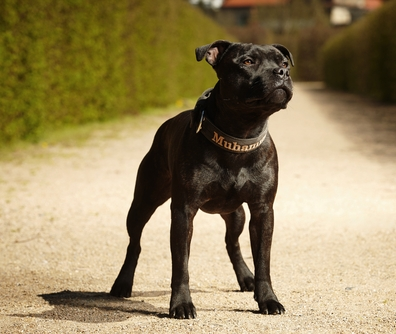 Staffordshire Bull Terrier is one of the most dangerous dogs