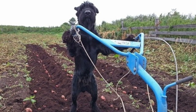 Skilled Dog Plows Fields, Maintains Farm