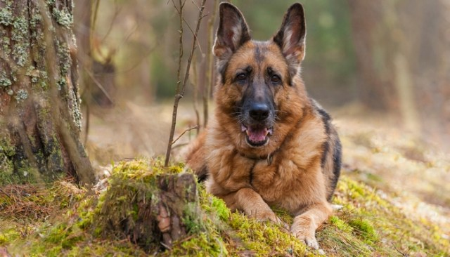 German Shepherd as the most aggressive dog breeds
