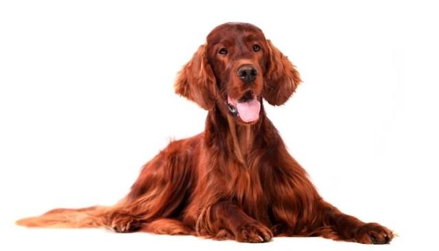 Irish Setter as most friendly dog breeds