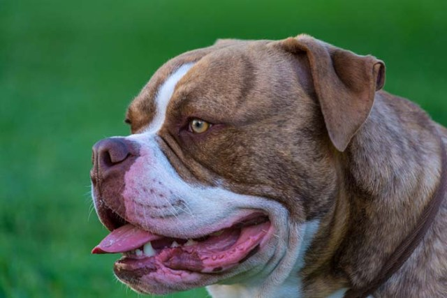 American Bulldog is one of the most popular fighting dog breeds