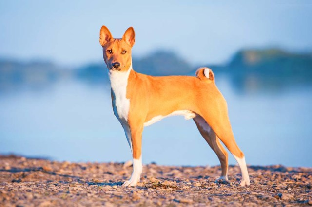Basenji is one of the healthiest dog breeds