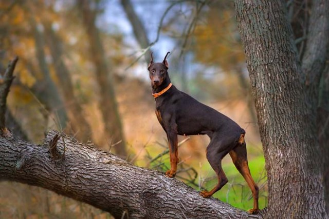 Doberman is one of the most popular fighting dog breeds