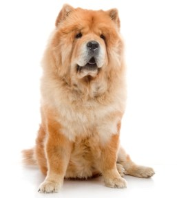 Chow Chows are one of the most expensive dog breeds