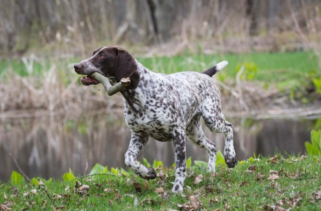 German Shorthaired Pointer is one of the healthiest dog breeds