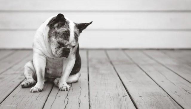 Dog Breeds Most at Risk for Arthritis