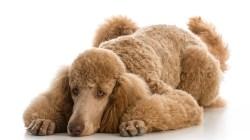 Poodle - Dog Breeds Most at Risk for Arthritis