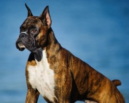 Boxer – 230 psi