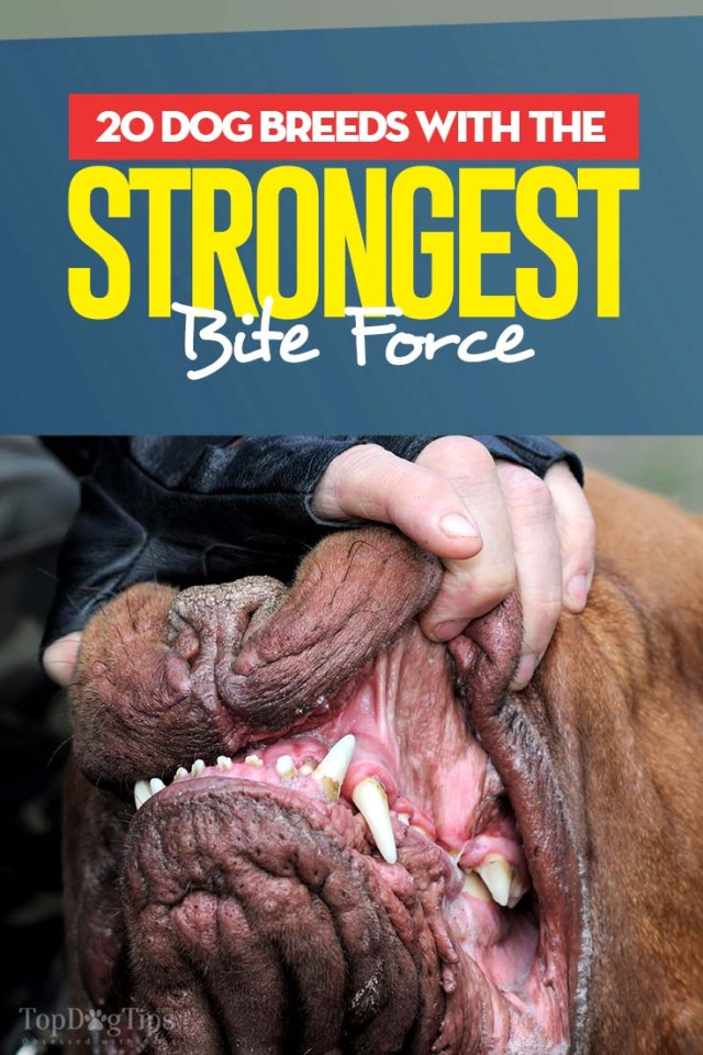 The 20 Dog Breeds With The Strongest Bite Force