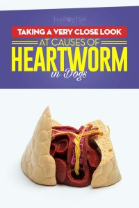 A Close Look at Causes of Heartworm in Dogs