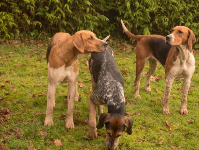 English Foxhound as Worst Breeds for Guard Dogs
