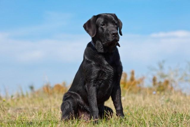 Labrador Retrievers as Worst Breeds for Guard Dogs