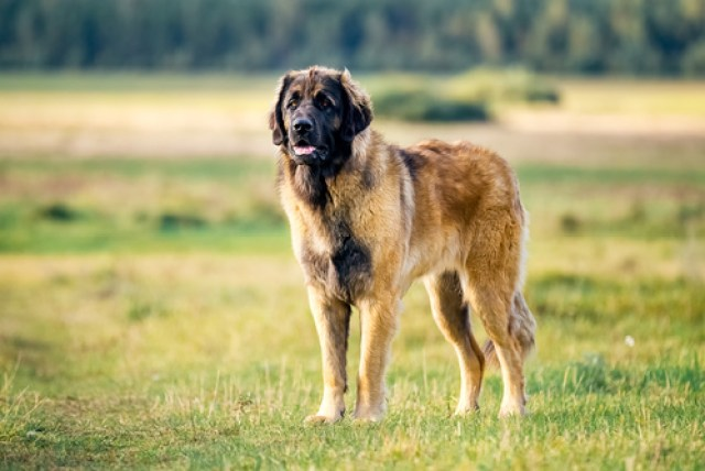 Leonberger as the Worst Breeds for Guard Dogs