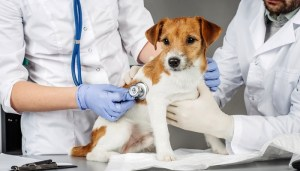 Prevention of Enlarged Heart in Dogs