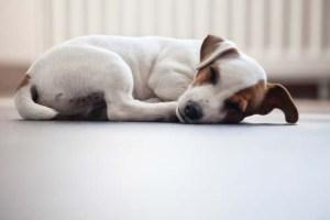 Jack Russel Puppy Sleeping on the Floor