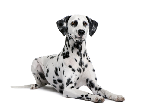 Great Background Dalmation Pictures