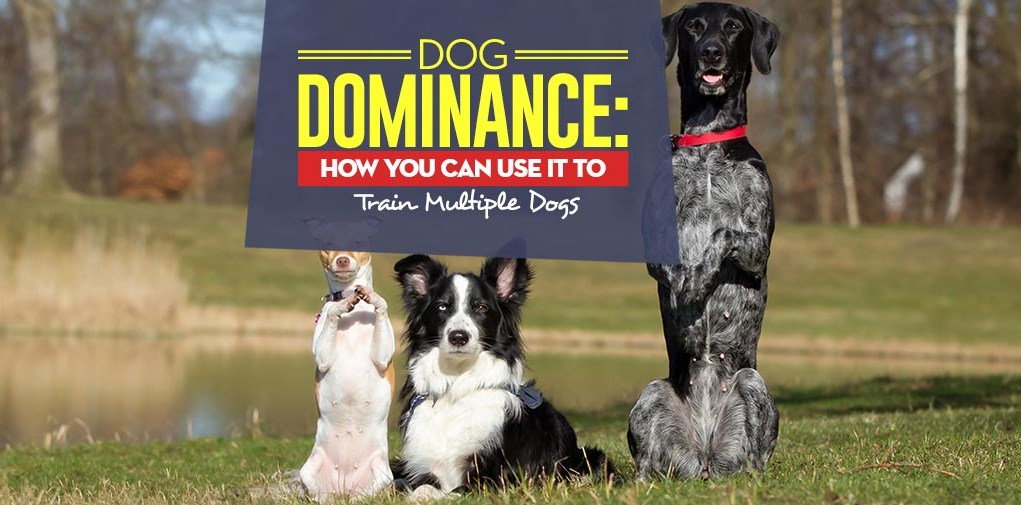 The Dog Dominance Tips - How You Can Use It to Train Multiple Dogs
