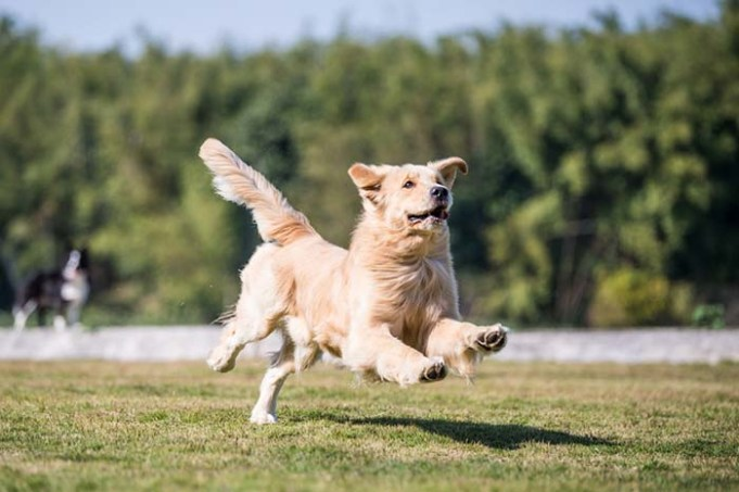 We Finally Have Treatment for Duchenne Muscular Dystrophy in Dogs