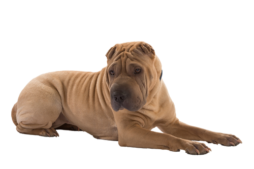 Shar-pei Ancient Dog Breeds