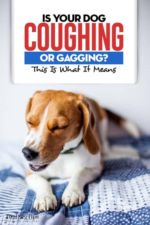 Dog Coughing and Gagging Meaning