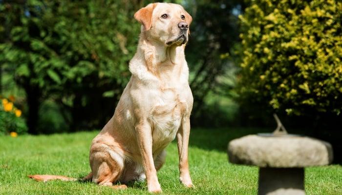 Goldador Dog Breed