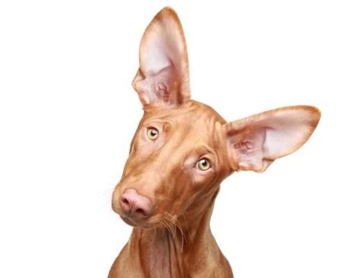 Pharaoh Hound Dog