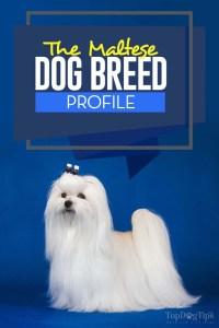 The Maltese Dog Breed Profile
