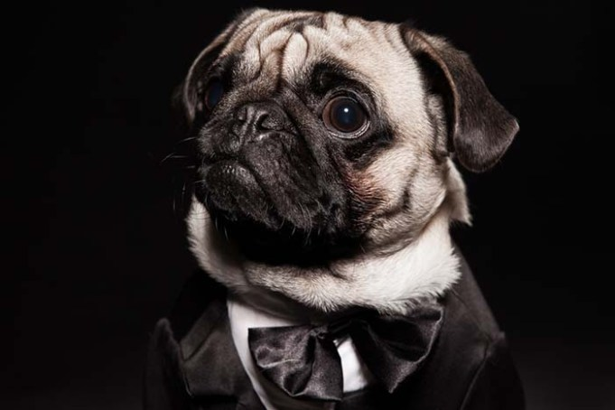 Woman Bought Pug a Tuxedo With Stolen Government Money