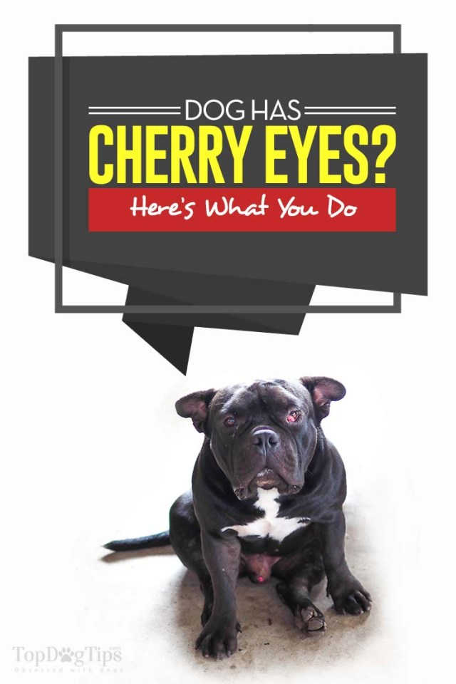 Cherry Eye in Dogs - What It Means and How To Deal With It