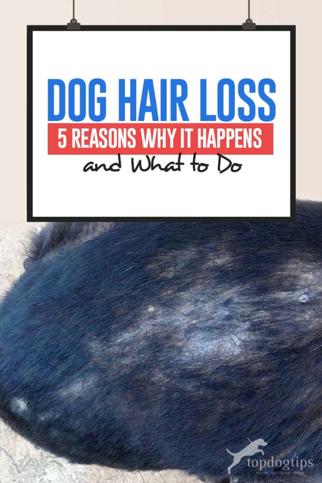 Dog Hair Loss - Top 5 Reasons Why It Happens and What To Do
