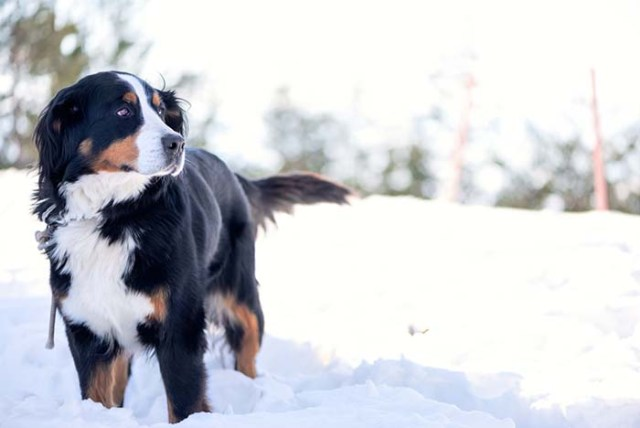Tips How to Protect Your Dogs Paws in the Winter