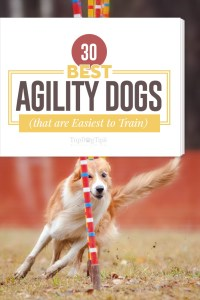 Top Best Agility Dogs That Are Easiest to Train for Competitions