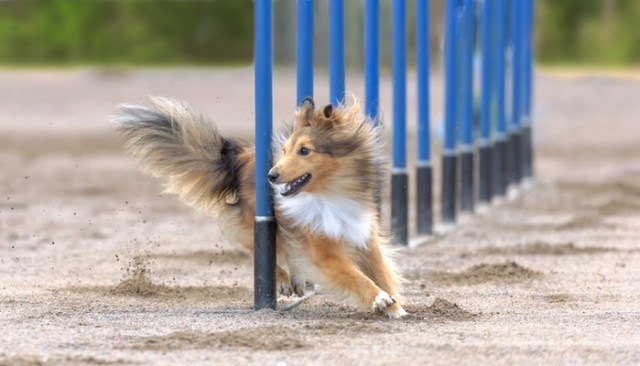 best agility dogs