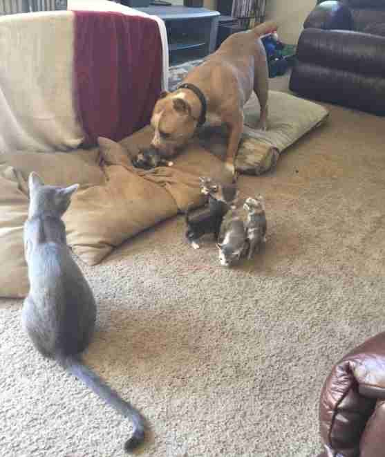 Pit Bull Who Adores Kittens Gets His Own Litter to Care For