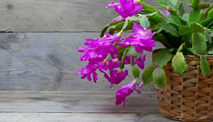 is christmas cactus poisonous to cats cards - Are Christmas Cactus Poisonous To Cats
