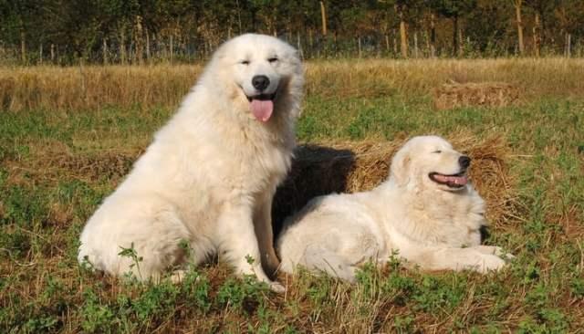 Marremma Sheepdog Farm Dog Breed